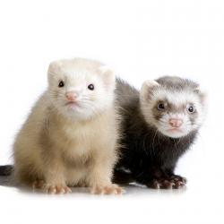 Two Ferrets Kits Exotic Pets